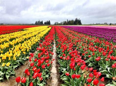 tulips festival in usa skagit valley tulip festival mount vernon wa united states yelp