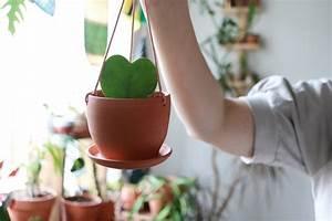 Hoya Plant Care  Easy To Follow Instructions