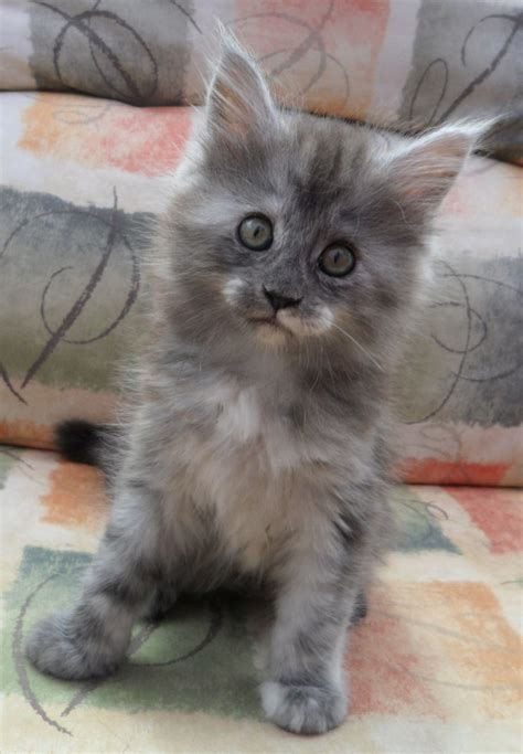 beautiful blue maine coon kittens  scotland arbroath
