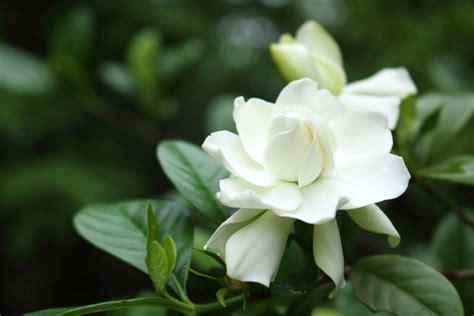 gardenia jasminoides  seasons cape jasmine
