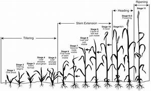 Small Grain Growth Stages And Harvest