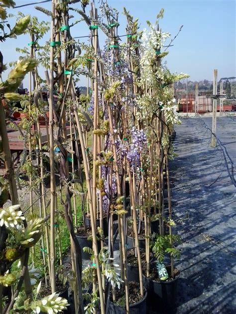 pianta di glicine in vaso pianta di glicine in vaso trendy piante ricanti per il