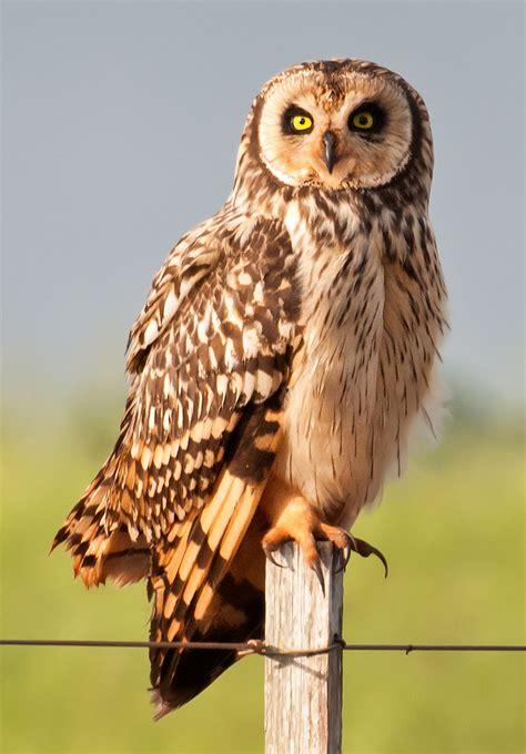 short eared owl  thetford org