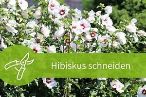 Pflanzen Schneiden Kalender : hibiskus schneiden 7 1 schnitte f r eine gro e bl tenpracht ~ Orissabook.com Haus und Dekorationen