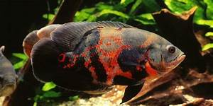 Tips and Facts about the Oscar Fish | The Aquarium Guide