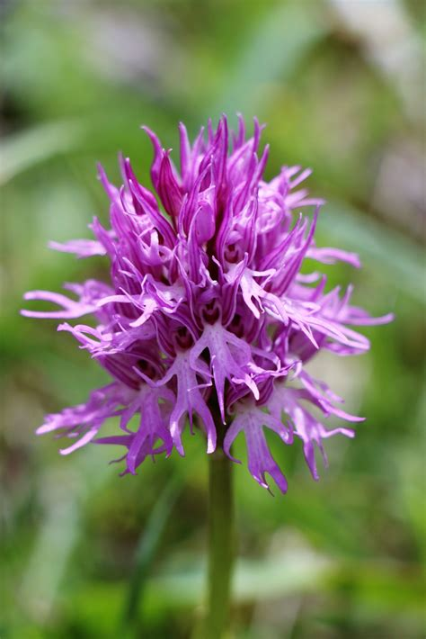 Orchis italica | Orchids, Orchis