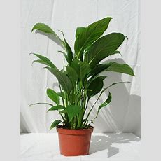 Foothill Tropicals, Inc  Indoor Tropical House Plants