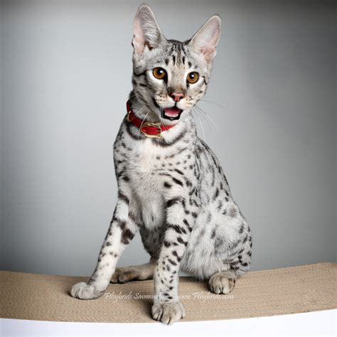 Savannah Cat Size,diet,temperament,price