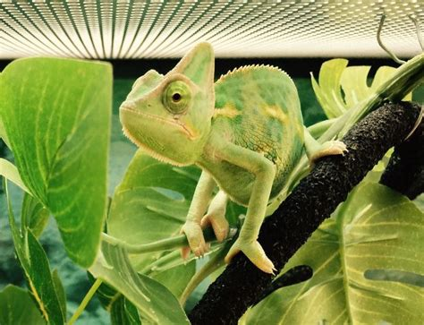 chameleon pet 25 best ideas about chameleons on pinterest chameleon baby chameleon and chameleon lizard