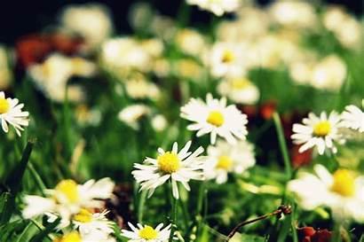 Flowers Daisy Flower Gifs Animation Daisies Marguerite