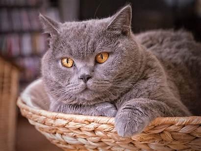 British Shorthair Cat Face Wallpapers