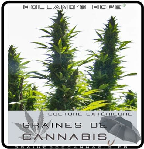 comment planter cannabis exterieur comment ext 233 rieur cannabis