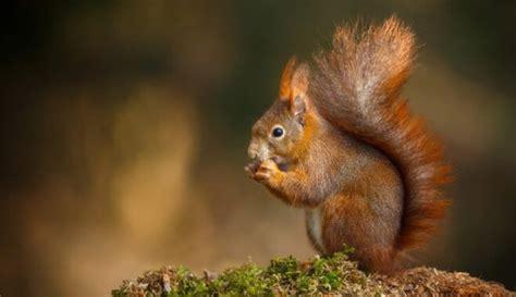 Par 2018. gada dzīvnieku izvēlēta parastā vāvere - DELFI