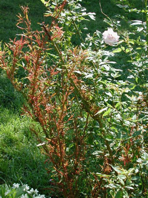 Halcyon Days New Dawn Rose Killed By Witches Broom
