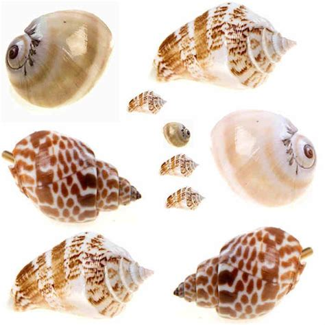 Real Seashell Cabinet Knobs by Unique Real Sea Shells Door Knobs Drawer Pulls Handles