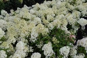 Hydrangea Paniculata Bobo : hydrangea paniculata bobo palmhunters ~ Michelbontemps.com Haus und Dekorationen