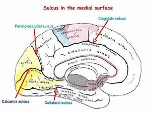 Occipital Lobe And Pathology