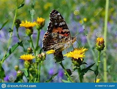 Steppe Flower Grote Een Yellow Butterfly Orange