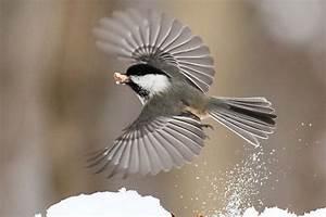 Black-capped chickadee | SPEAKZEASY