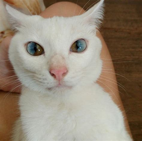 eyes cat different colors heterochromia cats through golden sectoral credits heterocromia universe whole