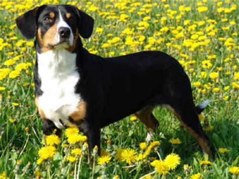 Springer Spaniel Shedding Level by Entlebucher Mountain Dog Breed Information Pictures And