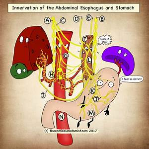 Innervation Of The Stomach  And Abdominal Esophagus