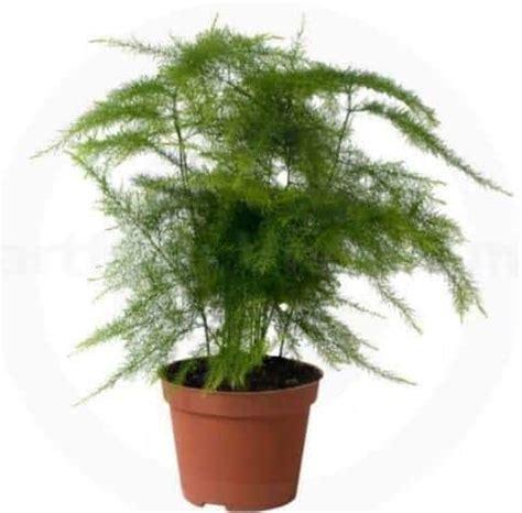 jual tanaman asparagus fern bibit