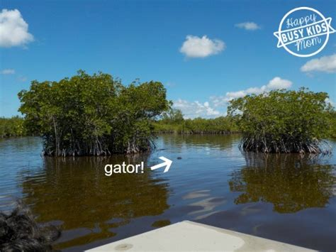 Everglades Boat Tours Alligators by How To Find An Everglades Airboat With Alligators Busy