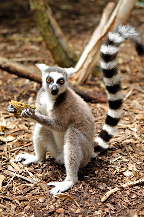 Ring Tailed Lemur Disney Animals Wiki Fandom
