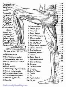 Leg Muscles Diagram Clipart