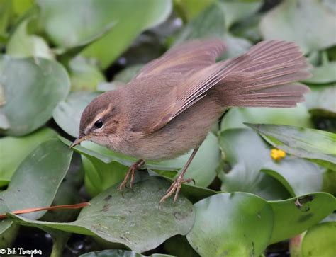 Dusky Warbler (phylloscopus Fuscatus)  Animals Birds