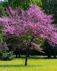 Arbre Ombre Croissance Rapide : 39 l 39 arbre de jud e 39 willemse ~ Premium-room.com Idées de Décoration