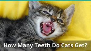 How Many Teeth Does An Adult House Cat Have