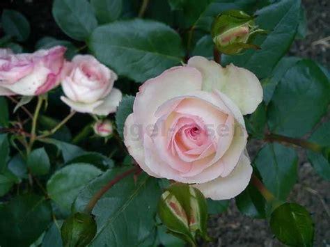 Mini Eden Kaufen Kletterrose Agel Rosen