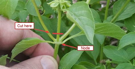 How To Prune Basil Plant Instructions