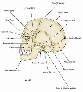 Human Skull And Brain Anatomy