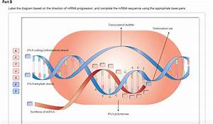Solved  Label The Diagram Based On The Direction Of Mrna P
