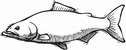 Salmon Pacific Vector Clipart Sketch Chinook Illustrations
