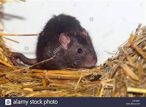Ratte Im Haus : rattus rattus stockfotos rattus rattus bilder alamy ~ Buech-reservation.com Haus und Dekorationen
