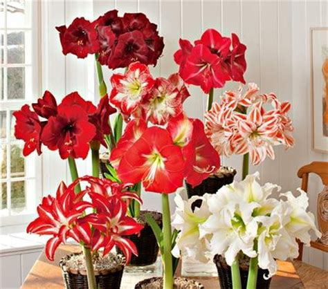 amaryllis connoisseurs collection best white flower farm
