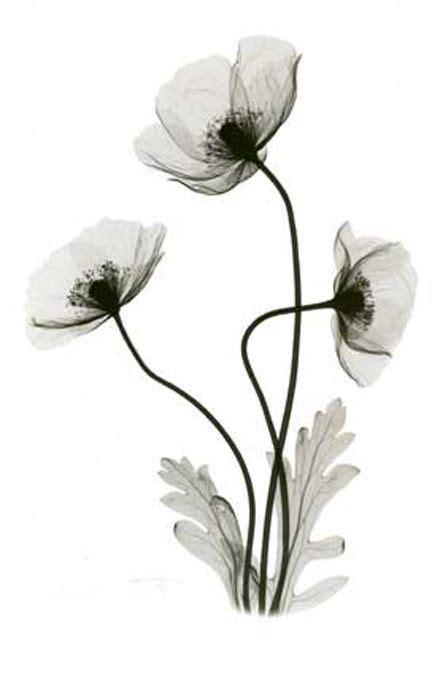 exray poppy plants google search xray flower poppies