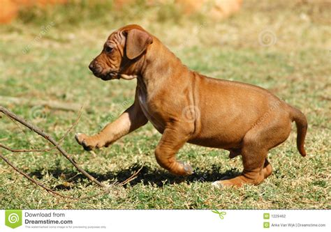 Rhodesian Ridgeback Excessive Shedding by Baby Ridgeback Breeds Picture