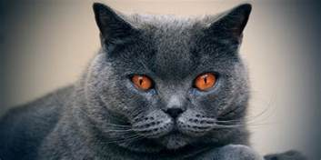 chartreux cat price chartreux information characteristics facts names