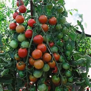 Planter Des Graines De Tomates : botanique culture de la tomate bio tomate bio ~ Dailycaller-alerts.com Idées de Décoration