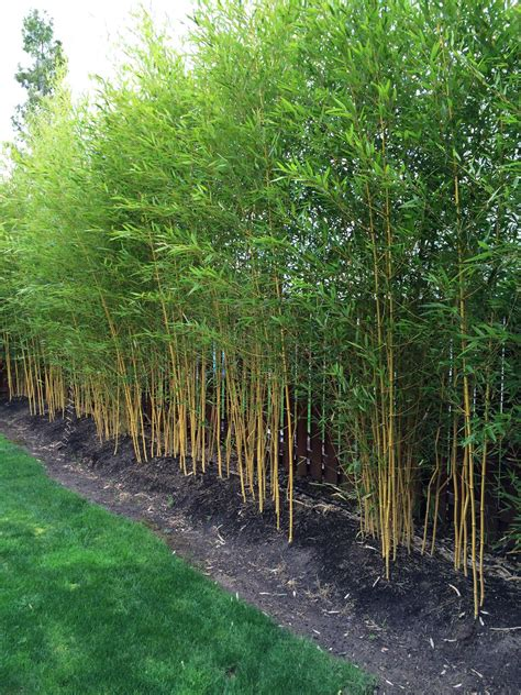 garden screening bamboo phyllostachys aureosulcata spectabilis zone 5 yard green screen pinterest gardens