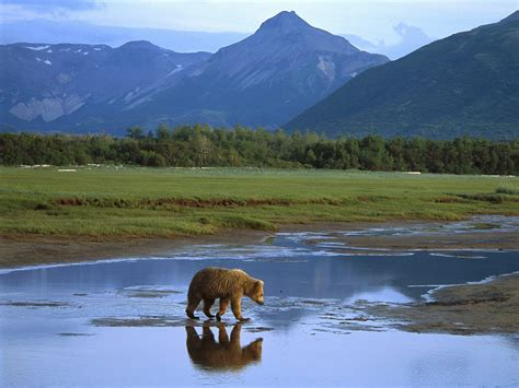 animals grizzly bear crossing river katmai national park
