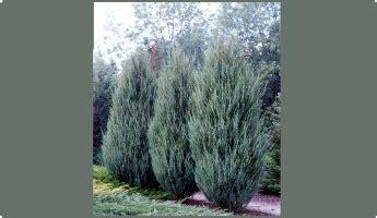 Klinškalnu kadiķis 'Skyrocket'   Thuja occidentalis, Bright green, Green and grey