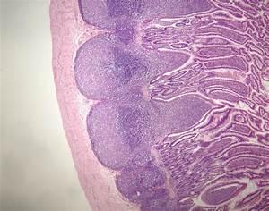 LP4 Urinary & Digestive Histology - Anatomy & Physiology ...
