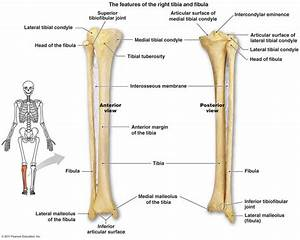 Tibia And Fibula Diagram