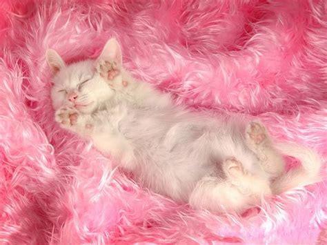 persian cat pic white sleeping kitten  pink paws